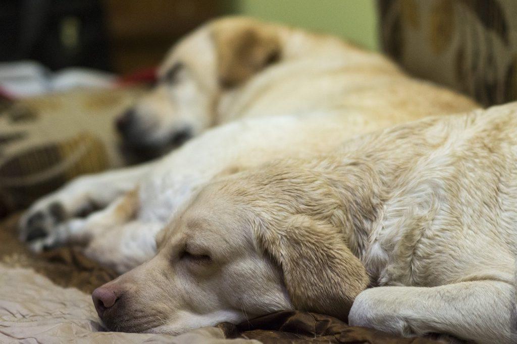 Śpiący labrador