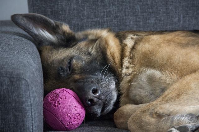 Śpiący pies z zabawką