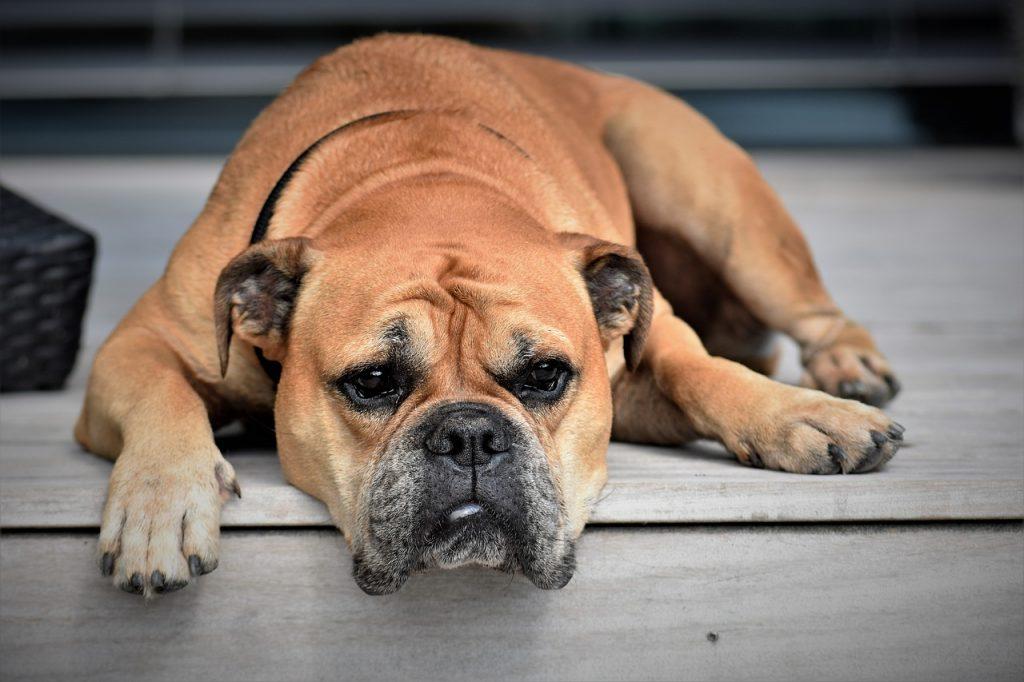 Średni pies buldog