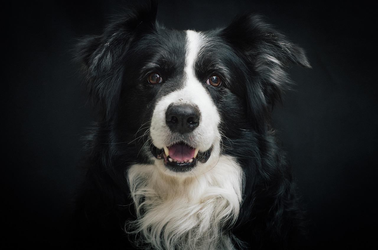 Border Collie – najmądrzejszy pies świata