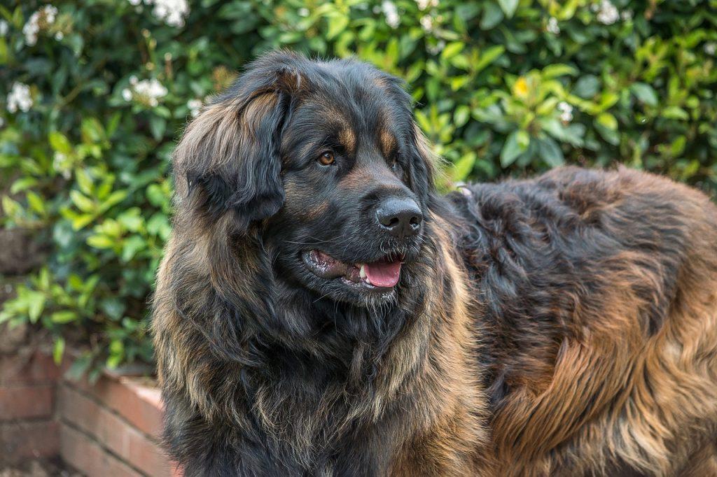 Pies bardzo duży z długim futrem