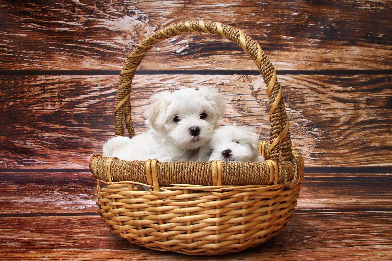 Maltańczyk mały pies w koszyku