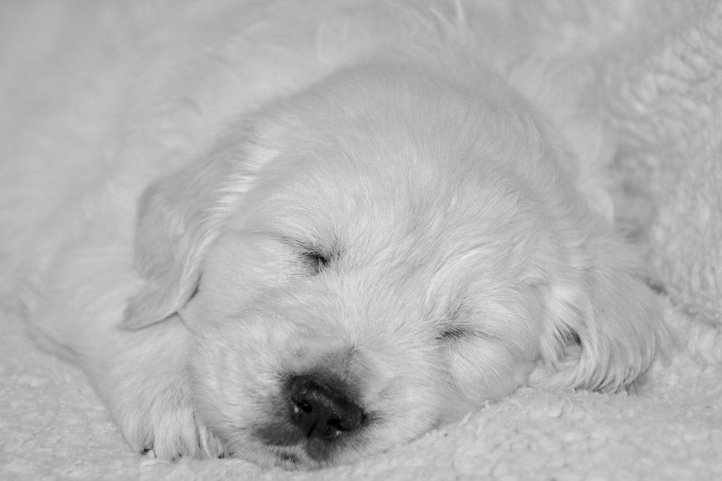 Szczeniaka łatwiej jest uczyć spania na legowisku