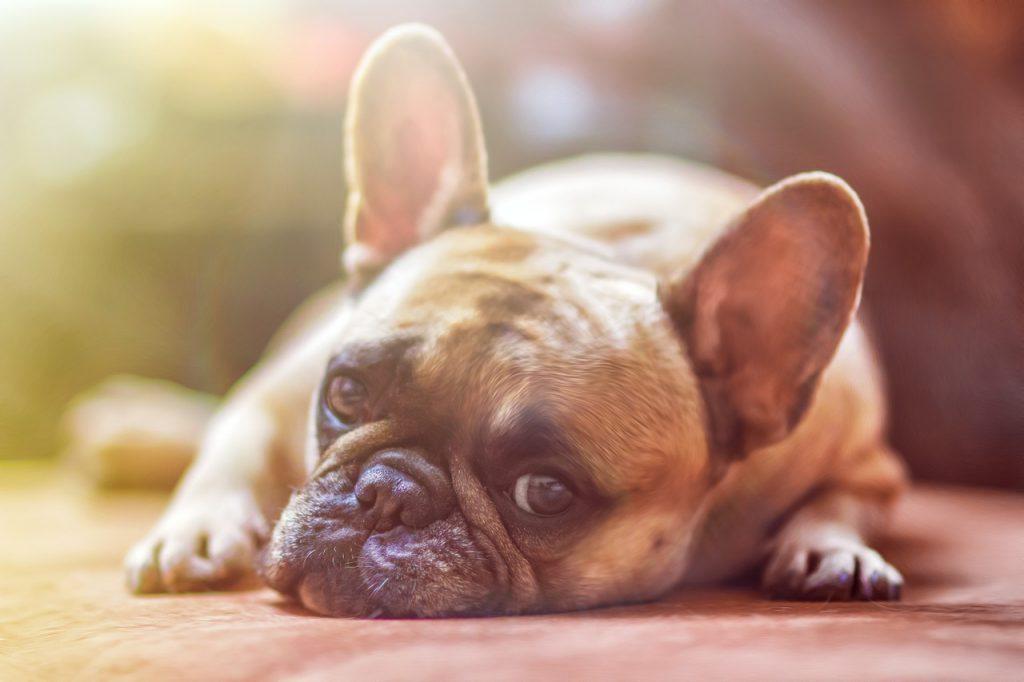 pies gatunku buldog na podłodze
