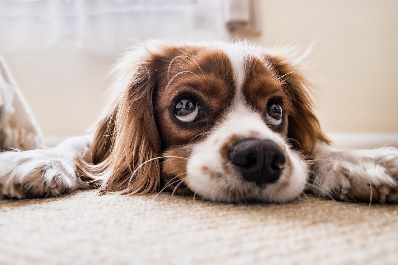 pies gatunku spaniel na dywanie