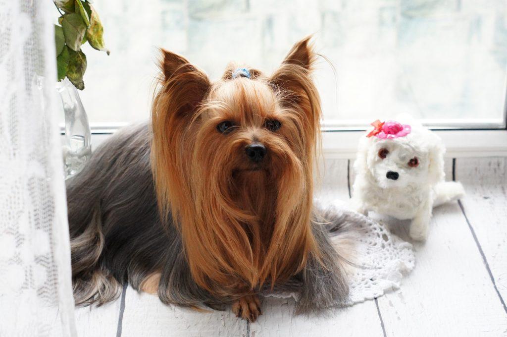 Pies gatunku York terrier
