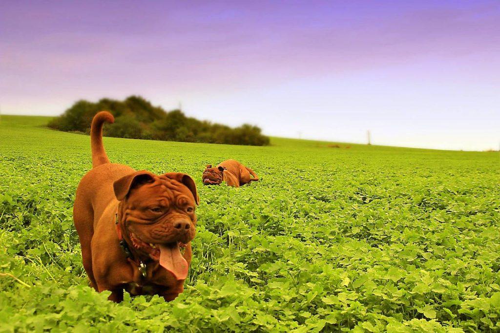 Psy gatunku Dog z Bordeaux