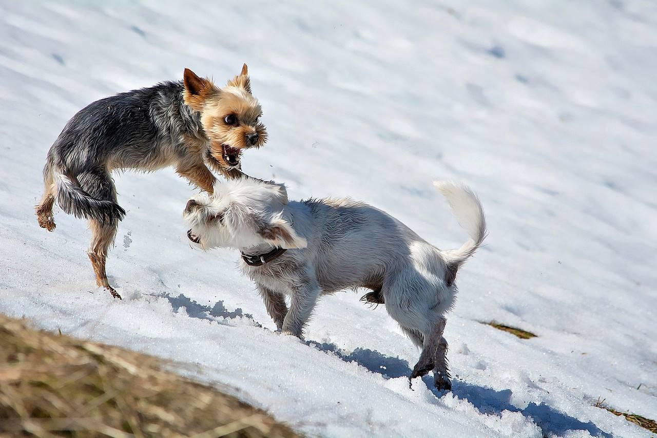Walka małych psów Yorkshire terrierów