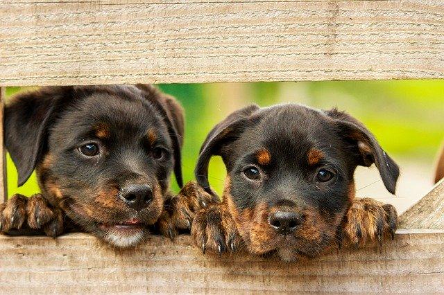 szczeniaki młode rottweiler