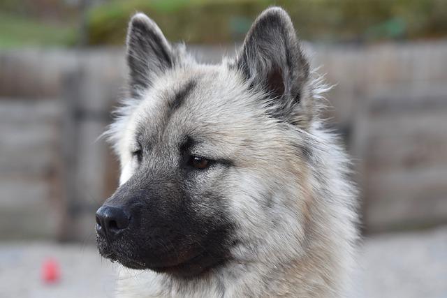 Rasowy pies gatunku Eurasier
